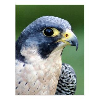 Peregrine Falcon Face Photo Postcard