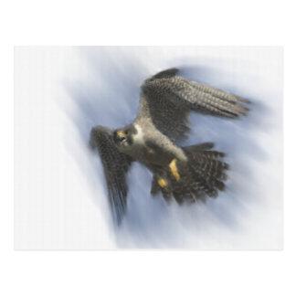 Peregrine Falcon in Flight Postcard