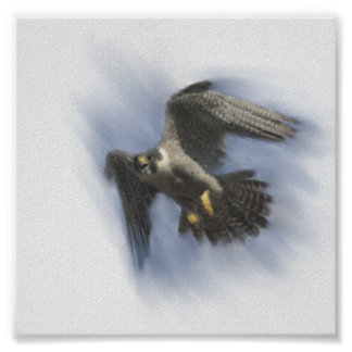 Peregrine Falcon in Flight Poster
