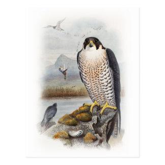 Peregrine Falcon John Gould Birds of Great Britain Postcard