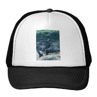 Peregrine Falcon, juvenile Hat