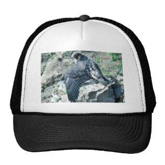 Peregrine Falcon, juvenile Hats