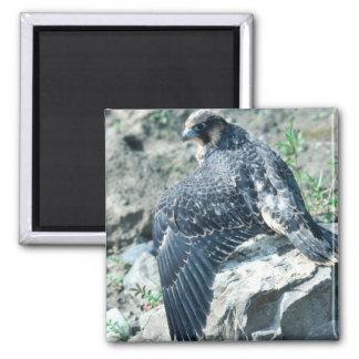 Peregrine Falcon, juvenile Fridge Magnets