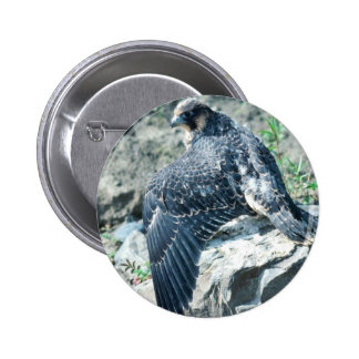 Peregrine Falcon, juvenile Pinback Button