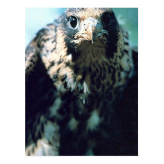 Peregrine Falcon, juvenile Postcard