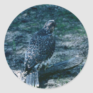 Peregrine Falcon, juvenile Classic Round Sticker