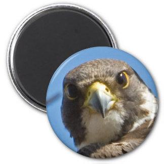 Peregrine Falcon Magnet