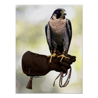 Peregrine Falcon on Glove Poster