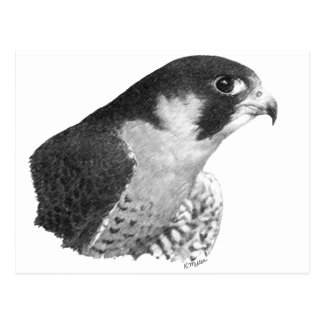 Peregrine Falcon-Pencil Post Card