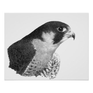 Peregrine Falcon-Pencil Poster