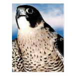 Peregrine Falcon Post Cards