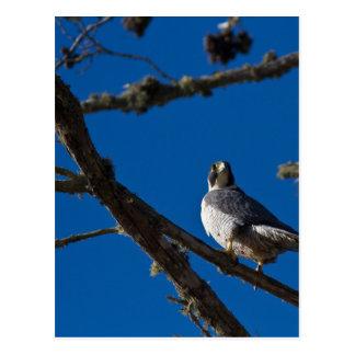 Peregrine Falcon Postcard