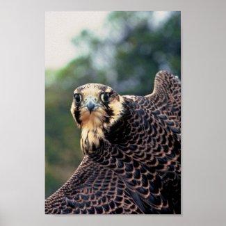 Peregrine Falcon Posters
