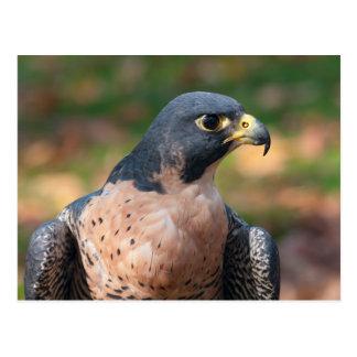 Peregrine Falcon Profile Postcard
