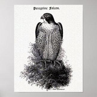 Peregrine Falcon Vintage Bird Illustration Poster