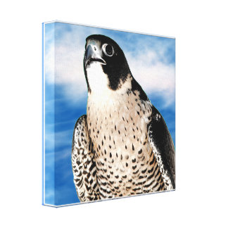 Peregrine Falcon Wrapped Canvas Print
