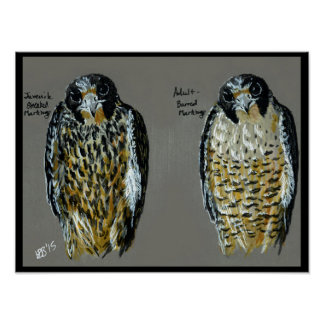 Peregrine Plumage Poster