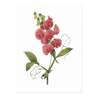 perennial sweet pea by Redouté Postcards