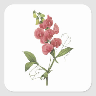 perennial sweet pea by Redouté Square Sticker
