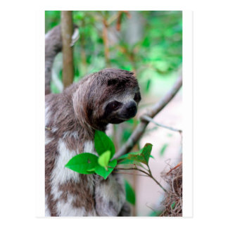 Pereza en el árbol Nicaragua Postales