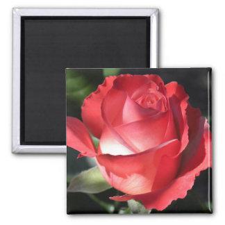 Perfección color de rosa imán cuadrado