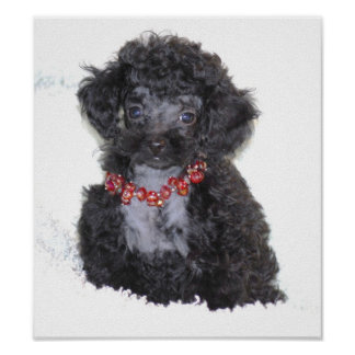 Perfect Black Toy Poodle Puppy Poster