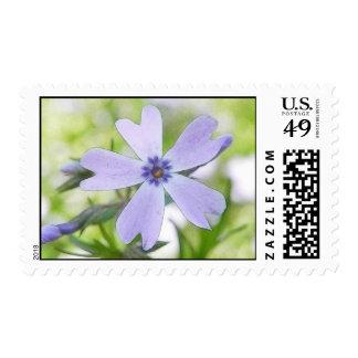 Perfect Blue Creeping Phlox Flower Postage Stamp
