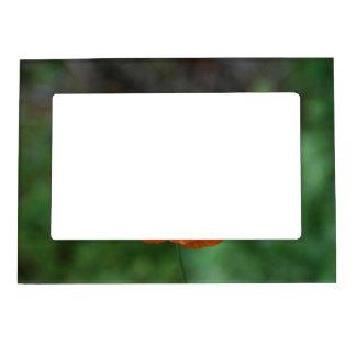 Perfect Orange California Poppy Frame Magnet