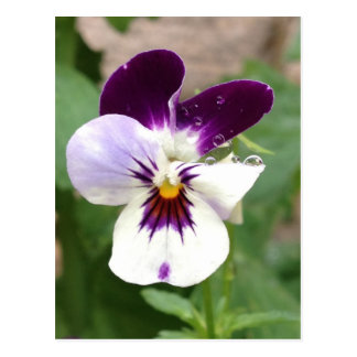 perfect pansy post cards