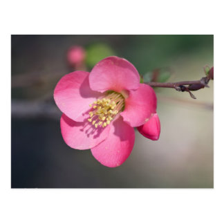 Perfect Pink Flowering Quince Postcard