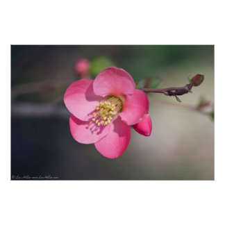 Perfect Pink Flowering Quince Poster