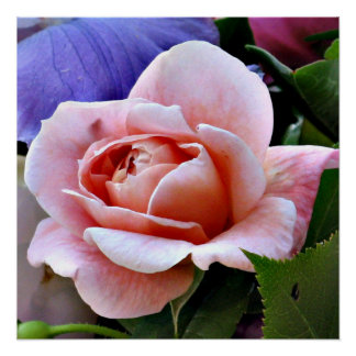 Perfect Pink Rose Photography Poster