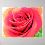 Perfect Pink Rose Print