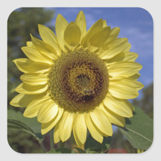 Perfect summer sunflower in blue sky. square sticker
