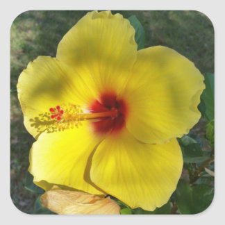 Perfect Yellow Hibiscus Flower, square sticker
