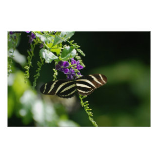 Perfect Zebra Butterfly Poster