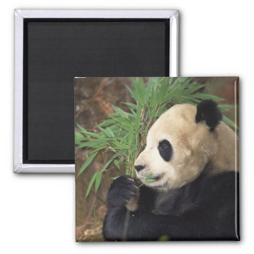 Perfil de la panda imán cuadrado