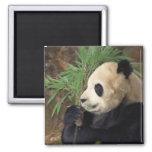 Perfil de la panda imanes de nevera