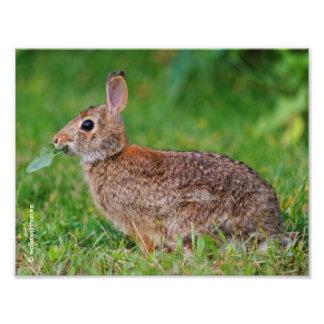 Perfil de un conejo de conejo de rabo blanco del fotografías
