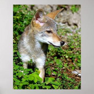 Perfil de un perrito del coyote póster