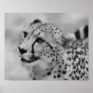 Perfil del guepardo póster