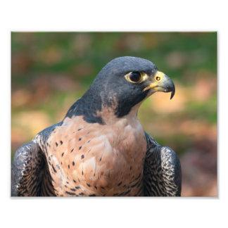 Perfil del halcón de peregrino fotografía