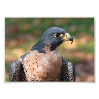 Perfil del halcón de peregrino fotografías