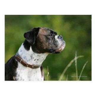 Perfil del perro del boxeador postal