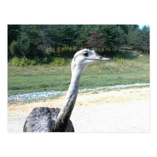 Perfil largo de la avestruz del cuello tarjeta postal