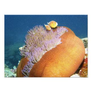 Perideraion rosado del Amphiprion de Anemonefish)  Fotografía