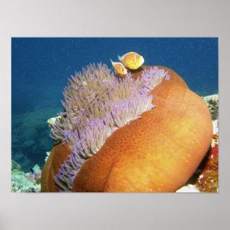 Perideraion rosado del Amphiprion de Anemonefish)  Póster