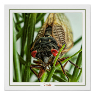 Periodical Cicada Large Insect Macro Photo Poster