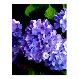 Periwinkle Hydrangeas Postcard