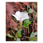 Periwinkle in White Art Photo
